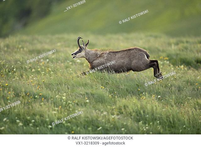 Alpine Chamois / Gaemse (Rupicapra rupicapra) on the run over fresh green mountain meadows