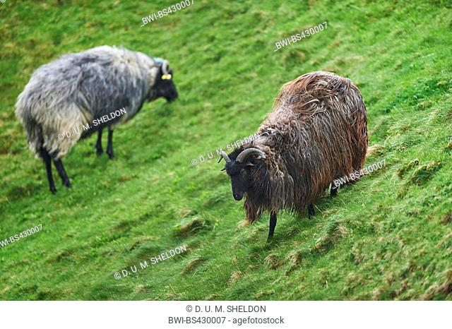 Heidschnucke, Heath sheep (Ovis ammon f. aries), in a meadow, Germany, Schleswig-Holstein, Heligoland