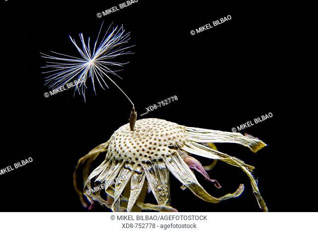 Seed of Dandelion (Taraxacum officinale)