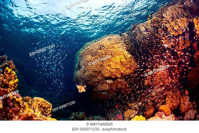Underwater shot of the coral reef with fishes, predators and prey (big fish in the centre is predator named Lion fish)
