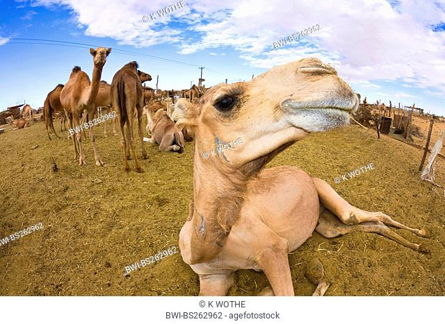 dromedary, one-humped camel Camelus dromedarius, several animals on camel market, Libya, Sebha