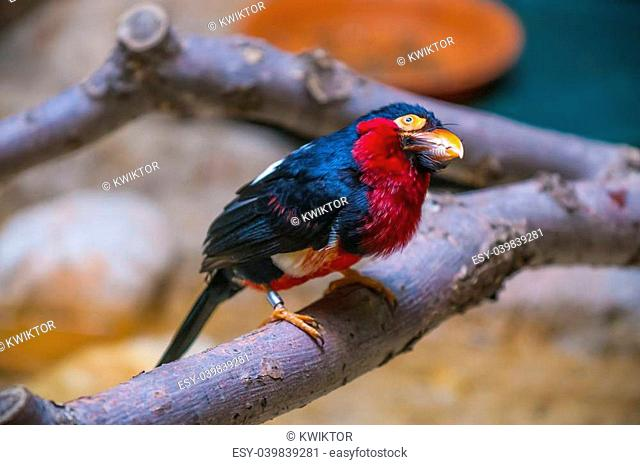 Bearded Barbet lat. Lubius dubius also known as African Barbet
