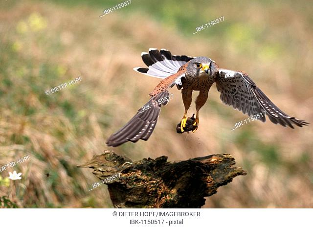 Male Common Kestrel (Falco tinnunculus) with captured mouse