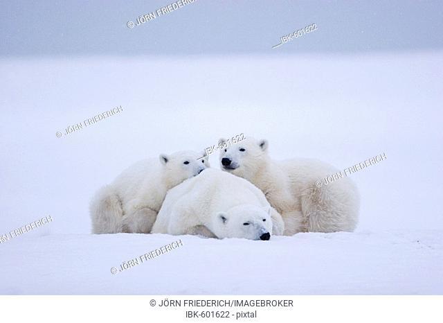 Polar bears (Ursus maritimus), female with two cubs, Churchill, Manitoba, Canada