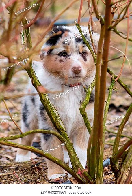Australian Shepherd purebred dog on meadow in autumn or spring, outdoors countryside. Blue Merle Aussie puppy, 2 months old
