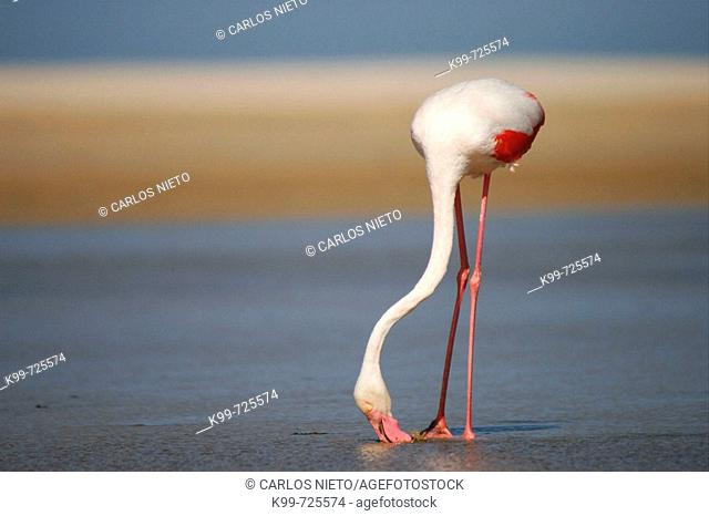 Flamingo. Parque Natural del Estrecho, Tarifa, Cádiz, Spain
