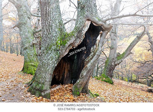 Castañar de El Tiemblo (El Tiemblo Chestnut forest). Sierra de Gredos. Avila Province. Castile-Leon. Spain