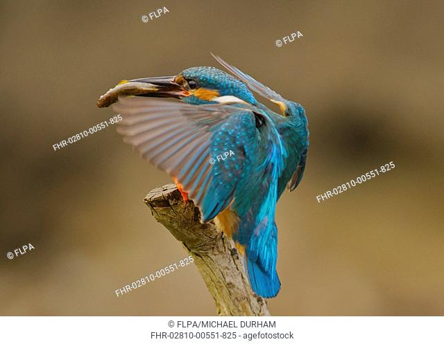 Common Kingfisher Alcedo atthis adult male, with fish in beak, landing on stick, River Urr, Dalbeattie, Dumfries and Galloway, Scotland, may