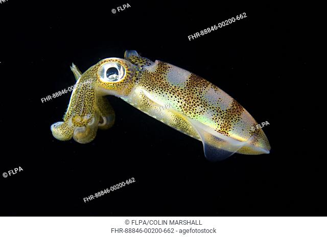Bigfin Reef Squid (Sepioteuthis lessoniana), Night dive, TK1 dive site, Lembeh Straits, Sulawesi, Indonesia