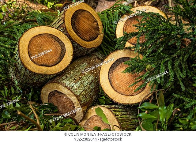 Pine logs freshly cut showing growth rings, Magome, Historic post road town Nthn Japan Alps