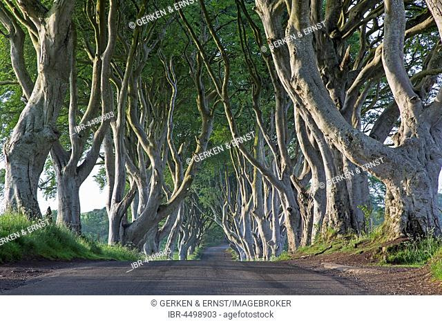 Beech tree avenue, The Dark Hedges, Ballymoney, County Antrim, Northern Ireland, United Kingdom