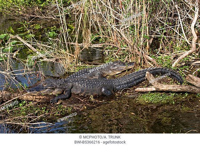 American alligator (Alligator mississippiensis), two alligators lying on the shore, USA, Florida, Everglades National Park