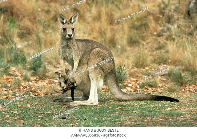 Grey Kangaroo w/ joey (Macropus giganteus) Buchan, Victoria, Australia