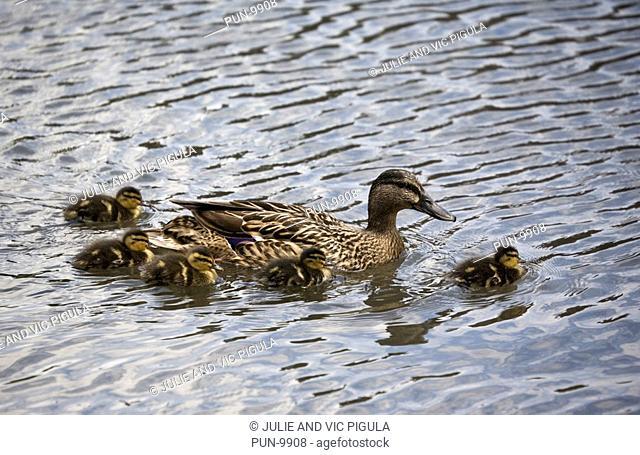 Female mallard Anas platyrhynchos and ducklings swimming on water