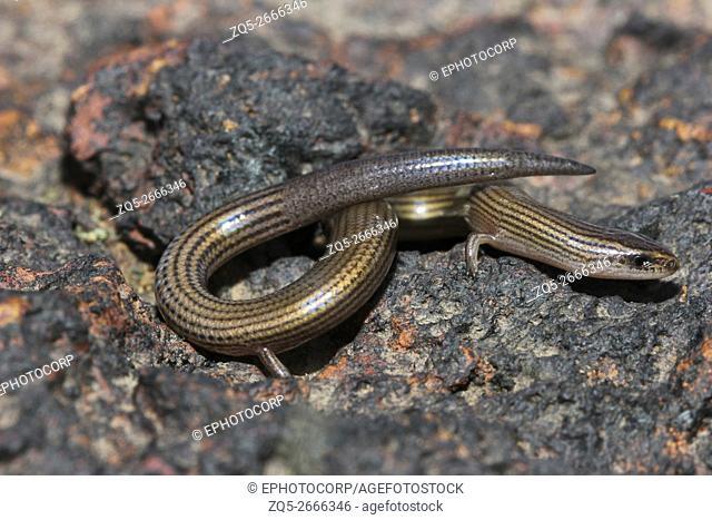 Lined Supple Skink, Lygosoma lineata, Satara, Maharashtra, India
