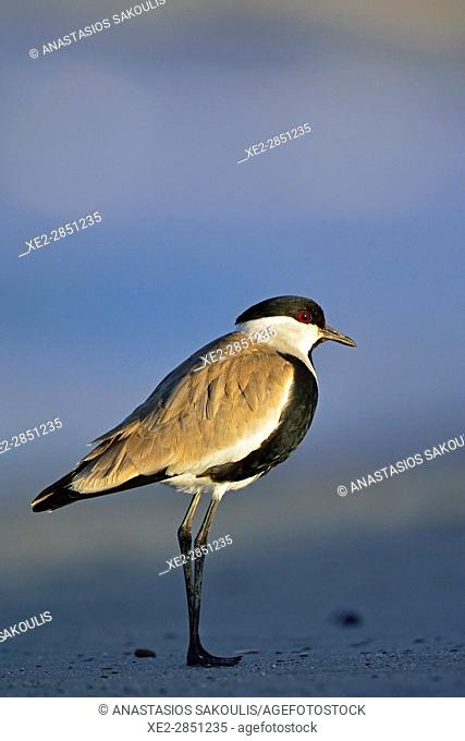 Spur-winged Lapwing or Spur-winged Plover -Vanellus spinosus, Crete