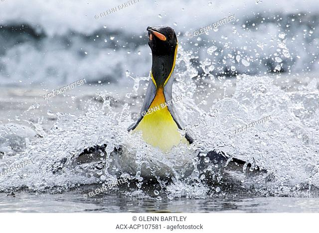 King Penguin (Aptenodytes patagonicus) swimming in the ocean near South Georgia Island