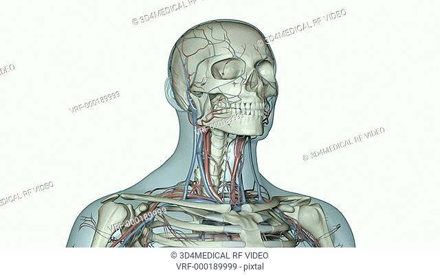 An animation of a beating heart. The camera zooms in and rotates to show position of the heart and blood vessels of upper body relative to the skeleton