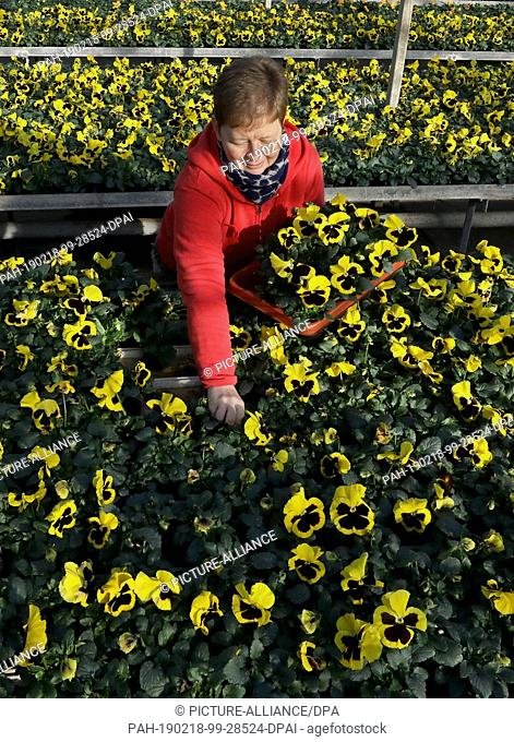 15 February 2019, Mecklenburg-Western Pomerania, Barth: In the greenhouses of Nordflor Gartenbau, Heike Ludwig, plant manager, sorts out pansies for dispatch