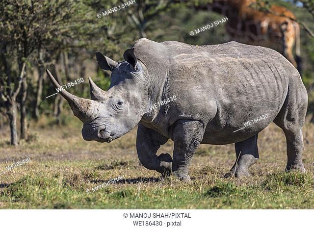 White Rhinoceros on the move. Kenya