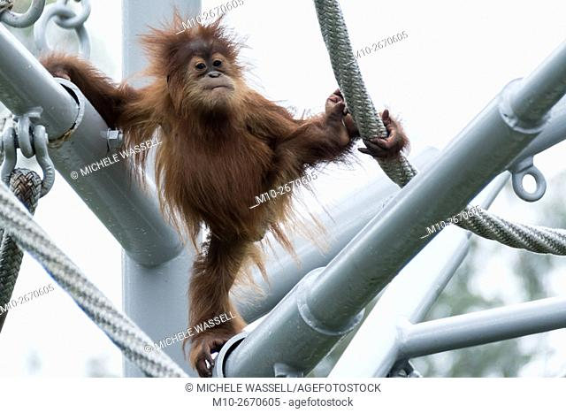 A young Orangutan making expressions while climbing in North America, USA