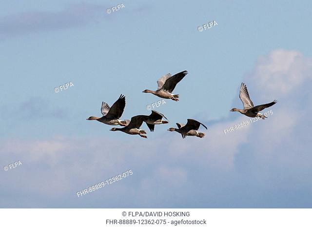 Pink footed Geese flying into Deepdale Marsh