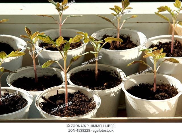 Jungpflanzen nach dem Pikieren