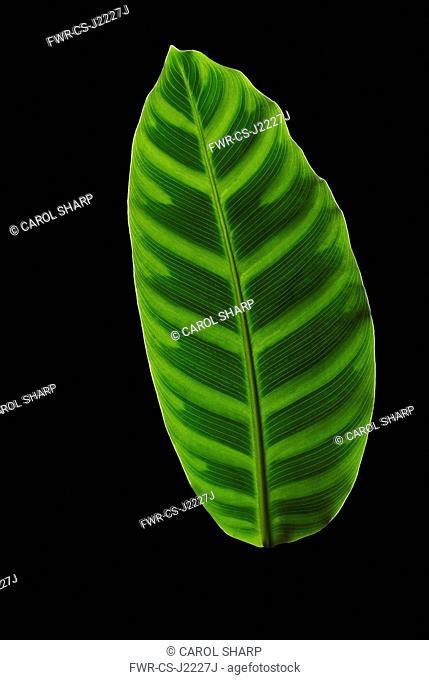 Zebra plant, Calathea zebrina, Front view of one light green leaf with regular dark markings each side of midrib
