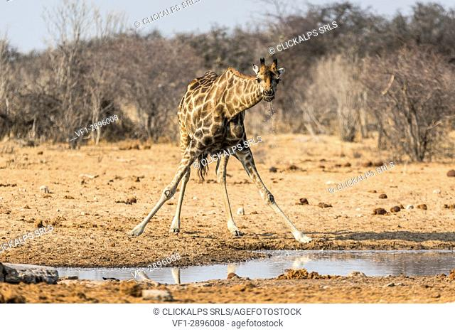 Giraffe drinking from a pond. Etosha National Park, Oshikoto region, Namibia