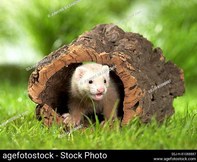 Ferret (Mustela putorius furo). Juvenile in a hollow log. Germany