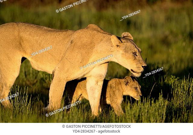 African lion (Panthera leo) - Female and cub, in the bush, Kgalagadi Transfrontier Park, Kalahari desert, South Africa/Botswana
