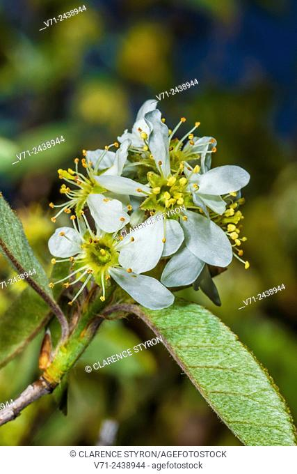 Beach Plum (Prunus maritima) Early Spring Flowers