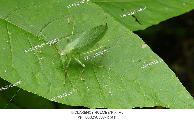 A female Common True Katydid (Pterophylla camellifolia) walks on the surface of an American Pokeweed plant leaf on a summer afternoon