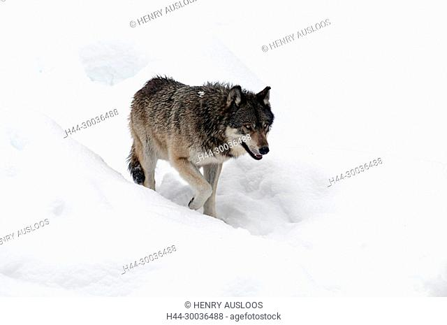 Grey wolf in the snow, Canis lupus