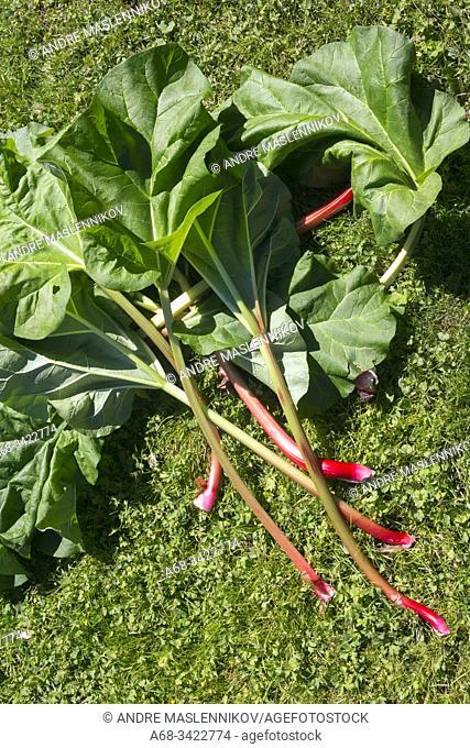 Rhubarb - harvest