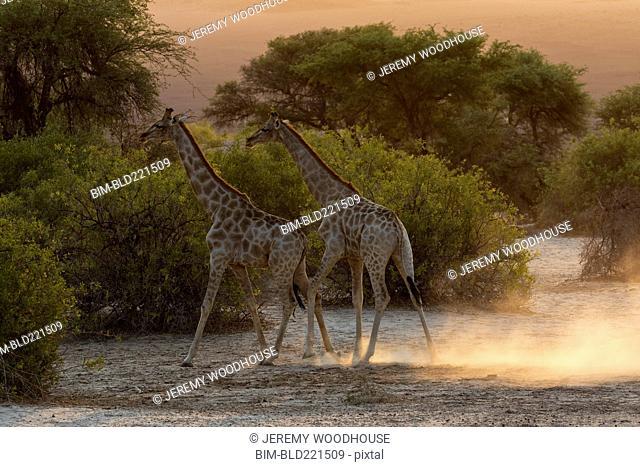 Giraffes walking in savanna field