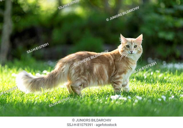 Norwegian Forest Cat. Adult standing on a lawn. Germany