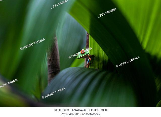 Red-Eyed Tree Frog, (Agalychnis callidryas or Rana Ojos Rojos) seen in Costa Rica