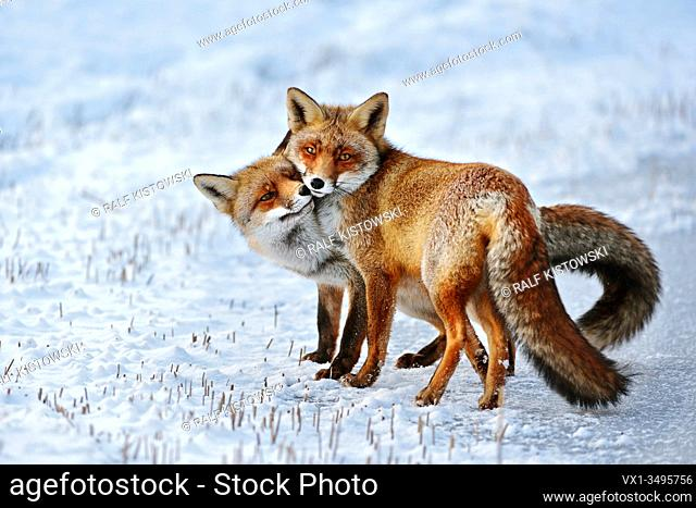 Red Fox ( Vulpes vulpes ), Red Foxes in love, caressing, tenderness, cute emotional behaviour, pair of foxes in winter, snow, wildlife, Europe