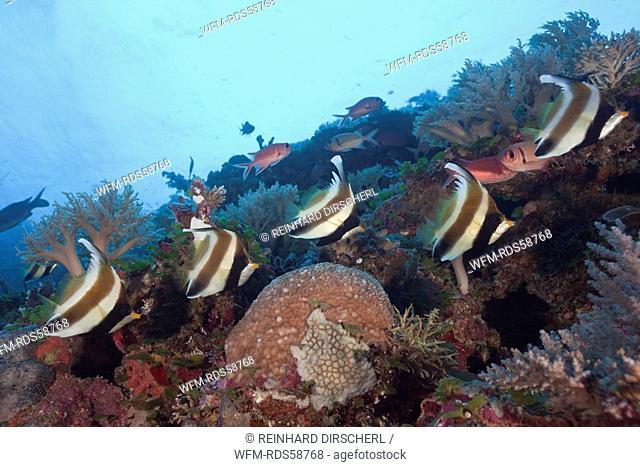 Pennant Bannerfish, Heniochus chrysostomus, Blue Corner, Micronesia, Palau