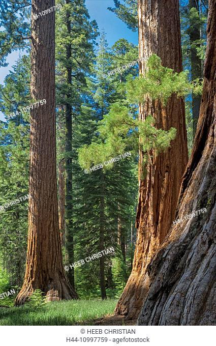 USA, California, Sierra Nevada, Yosemite, National Park, Mariposa grove