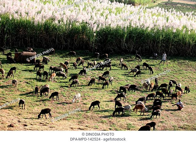 Animals like goat , sheep grazing
