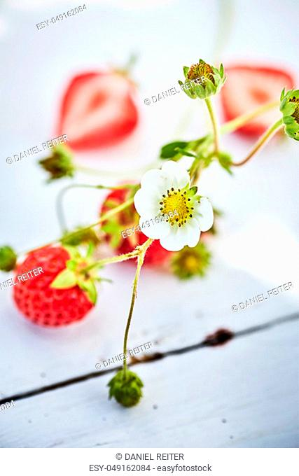 Fresh strawberries, whole and cut in half and white strawberry plant flower on painted wooden table viewed in close-up and selective focus