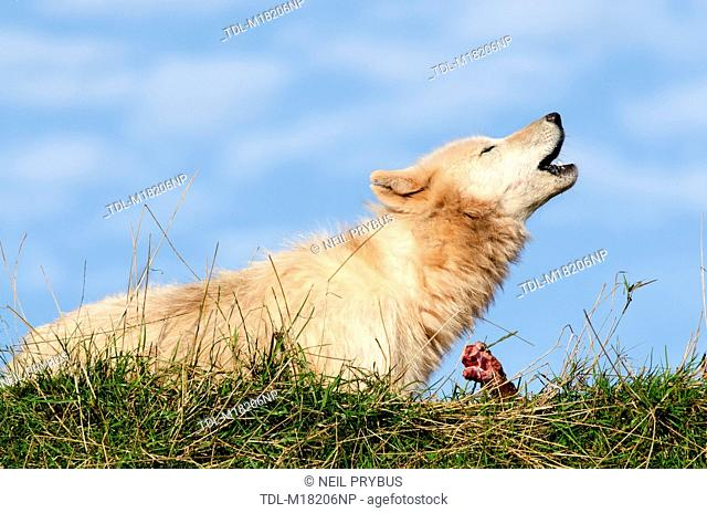 An Arctic wolf howling, Canis lupus arctos