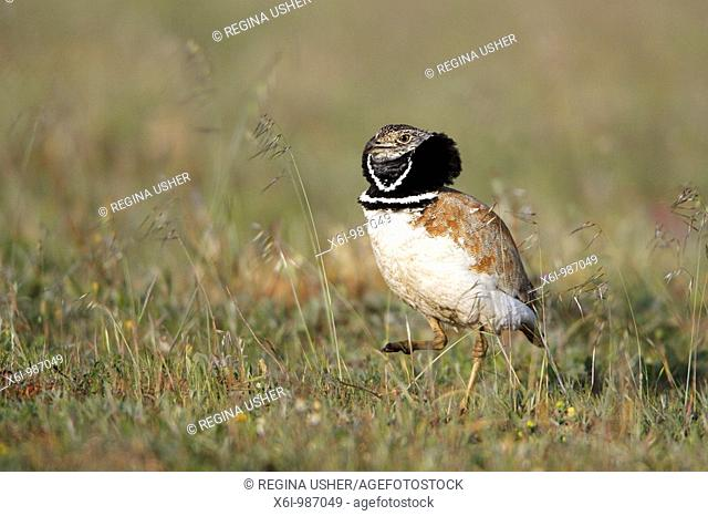 Little Bustard Otis tetrax, male displaying, Sao Marcos reserve, Alentejo, Portugal