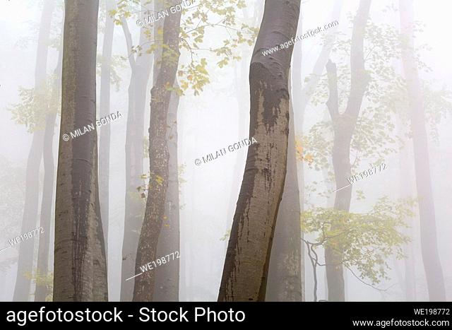 Beech forest in Velka Fatra national park, central Slovakia