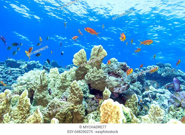 Colorful coral reef with exotic fishes anthias in tropical sea, underwater