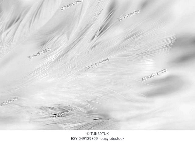 soft focus White feather texture background