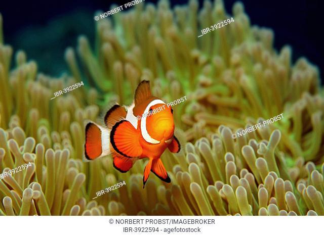 Ocellaris Clownfish or Common Clownfish (Amphiprion ocellaris), with anemone, Sabang Beach, Puerto Galera, Mindoro, Philippines