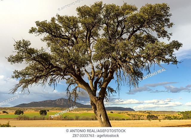 Holm Oak (Quercus ilex) with El Angel y el Mugrón train station in background. Almansa. Albacete province, Castile-La Mancha, Spain